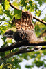 Barred owlet wing exercise<br /> Fairfax County, Virginia