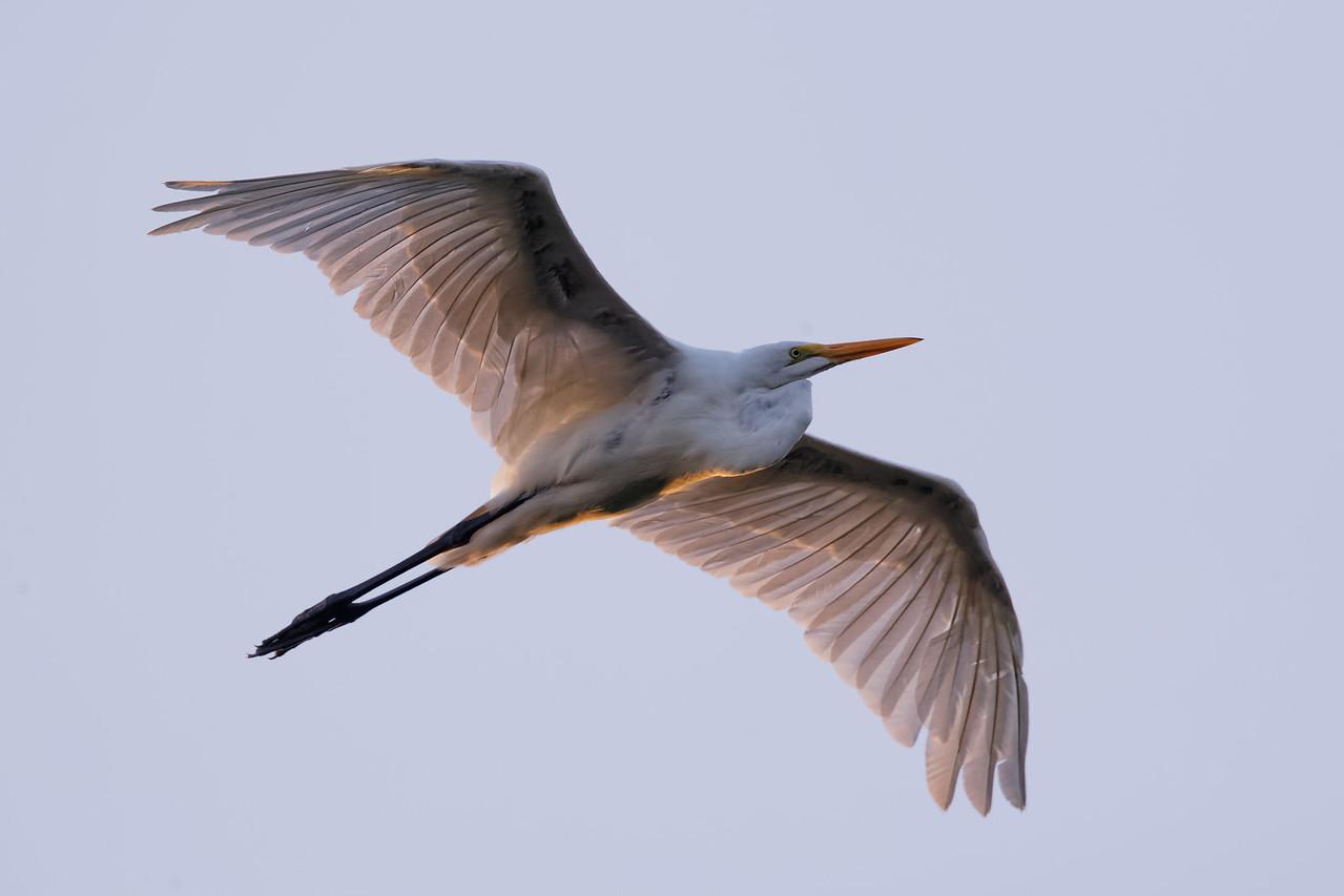Great egret soars in the morning light