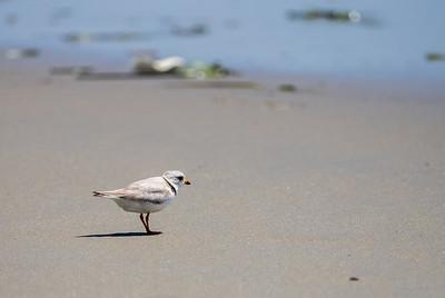 Piping Plover - Horseneck Beach