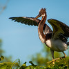 Tricolored Heron Chick Stretching his Wings.