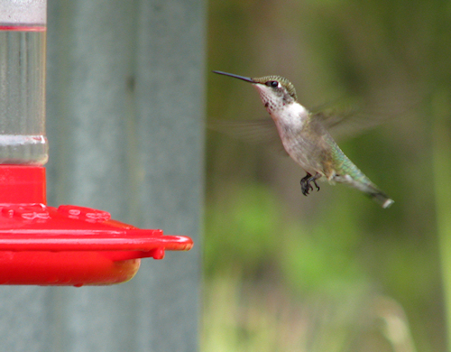 A female ruby-throated hummingbird (Archilochus colubris) flying toward a feeder (20080809_10763)
