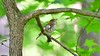 Wood Thrush and its song