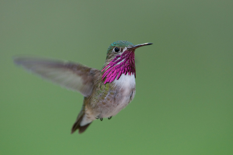 Male Caliope Hummingbird