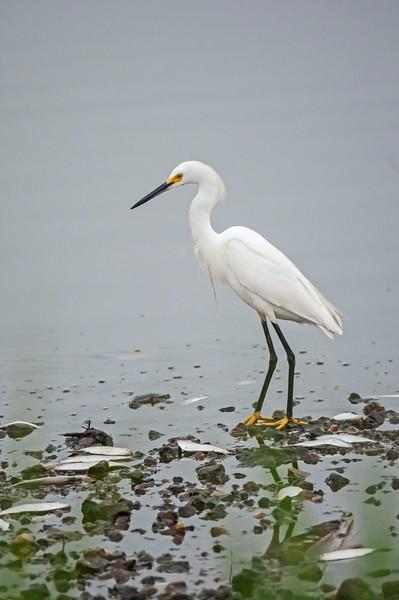 Snowy Egret, Prime Hook NWR, 8-1-14.