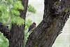 Cedar Waxwing chick