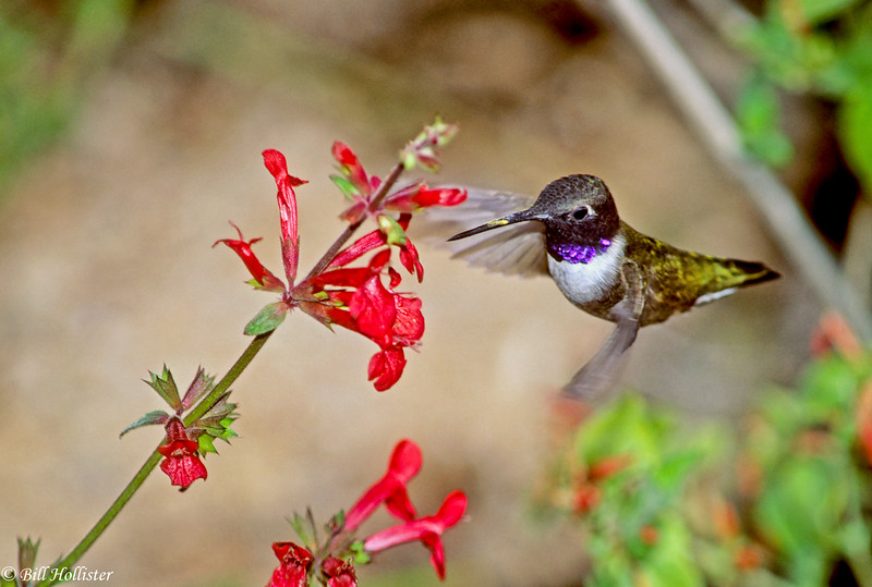 Black-chinned Hummingbird feeding on flower
