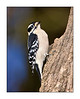 Hairy Woodpecker<br /> (Picoides villosus)