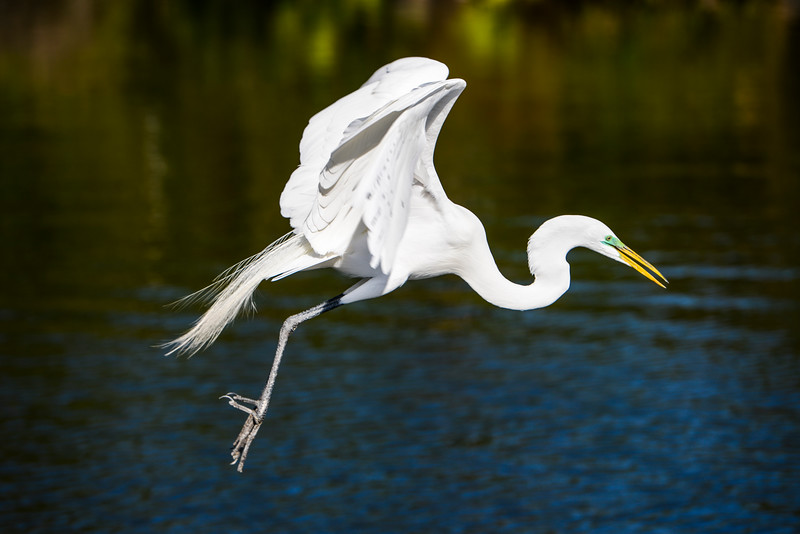 Gatorland 383 A<br /> <br /> One of my personal favorites of a Great White Egret swooping down toward the water at Gatorland.<br /> <br /> This image can also be found in the Florida gallery, via Places.