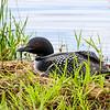 Nesting Loon   4