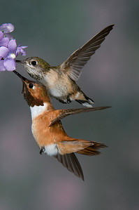 Male and Female Rufous Hummingbirds