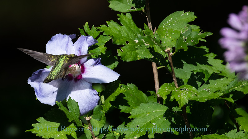Ruby-throated Hummingbird at a Rose of Sharon bloom