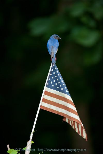 Male Eastern Bluebird