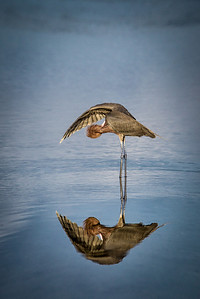 Reddish Egret Under Wing Preening Reflection