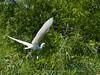Snowy Egret Heron