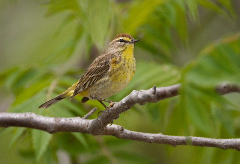 Palm Warbler - May 2008