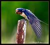 Barn Swallow<br /> (Hirundo rustica)