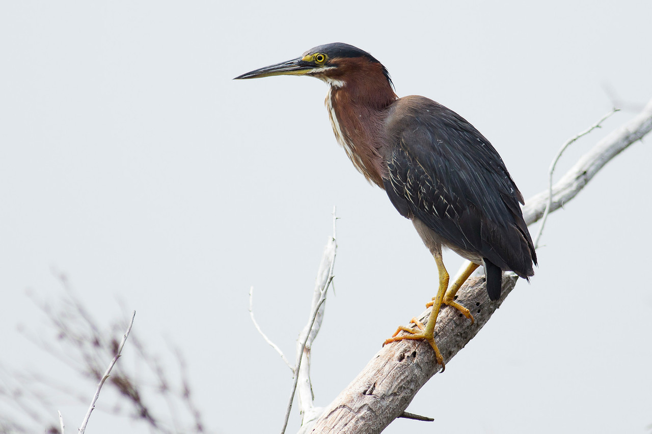 Green Heron - St. Marks NWR, Florida