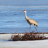 A Sandhill on Ice 1
