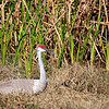 I Have Been Watching This Sandhill Crane For While Now. As You Can See In The Next Few Photo`s After About A Month The Little Guy Showed Up. The Next Day, The Next Little One Hatched.