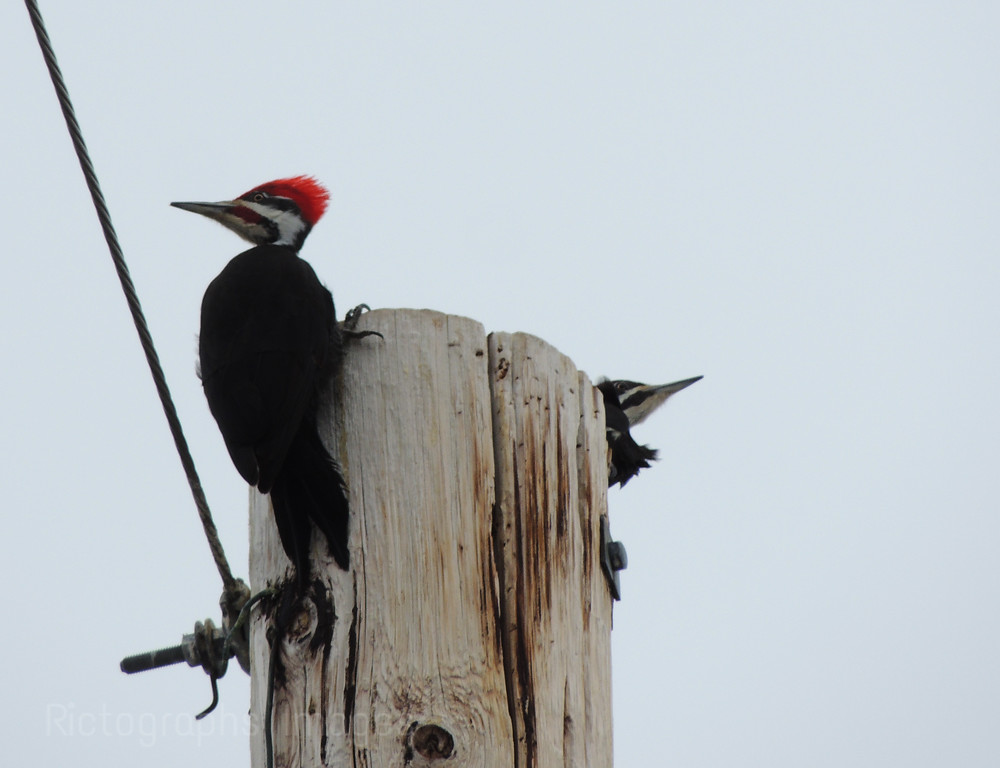 A Woodpecker Looking For Wood to Peck