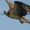 Osprey  This photograph is protected by the U.S. Copyright Laws and shall not to be downloaded or reproduced by any means without the formal written permission of Bob Arkow Photography.