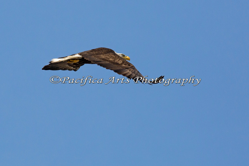 Female Bald Eagle flying off - Milpitas - 10Apr2017