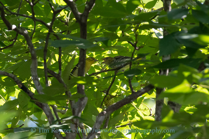 Scarlet Tanager adult and fledging
