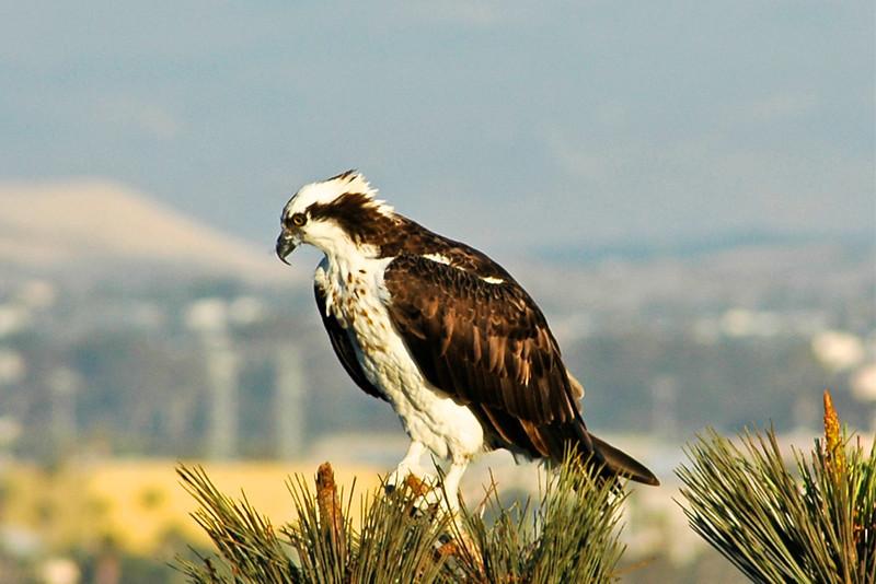 Coronado Bay Osprey 1
