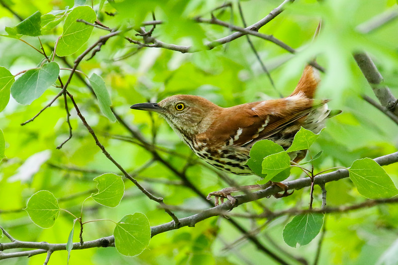 Singing Brown Thrasher