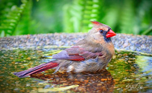 Female Cardinal in the Bath