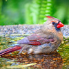Female Cardinal in the Bath