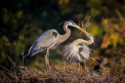 Great Blue Heron gift