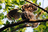 Barred owlet strengthening wings<br /> Fairfax County, Virginia