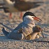 Common Tern and Chicks  This photograph is protected by the U.S. Copyright Laws and shall not be downloaded or reproduced by any means without the formal written permission of Bob Arkow Photography.