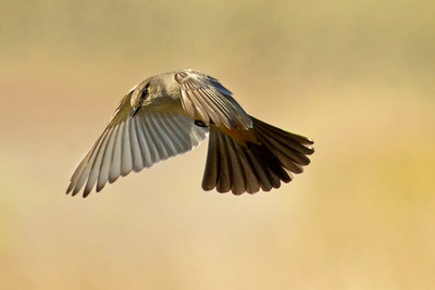 Say's Phoebe ~ hovering/hunting