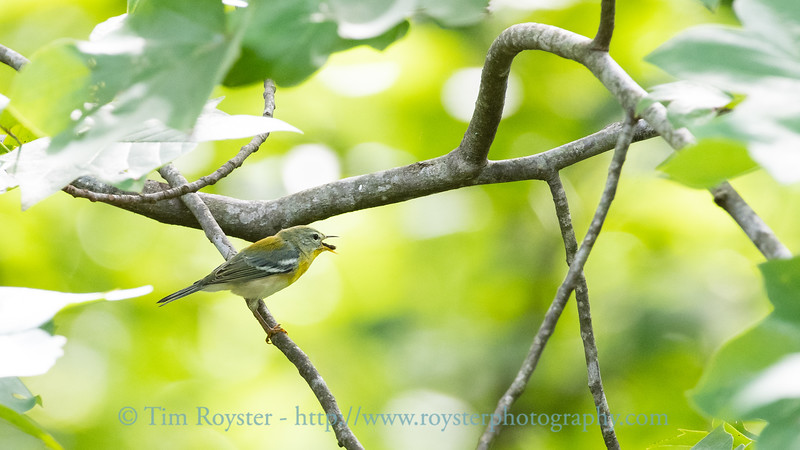 Northern Parula warbler swallowing its catch