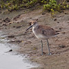 Willet at Bolsa Chica Reserve - 4 Sept 2010