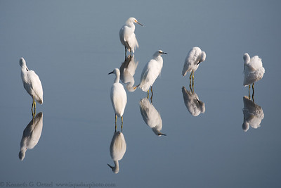 Snowy Egrets.  Taken at Rush Creek in Novato, CA.