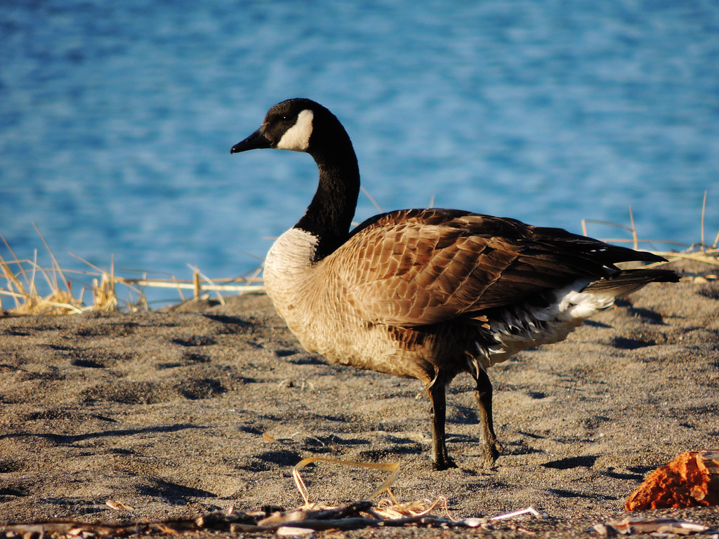 Goose Loose on The Beach, Rictographs Images