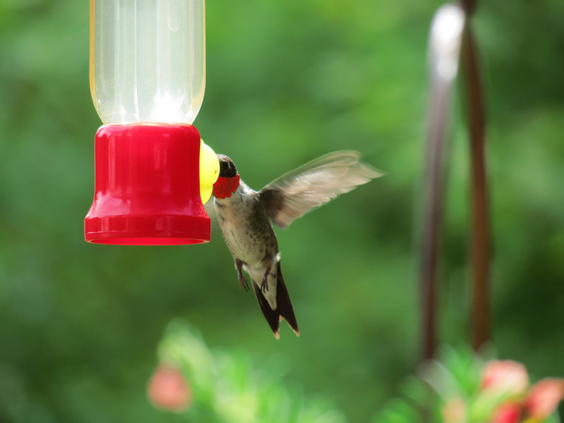 Ruby-Throated Hummingbird --<br /> at the feeder hanging near the flower cart <br /> with hanging baskets of flowers.