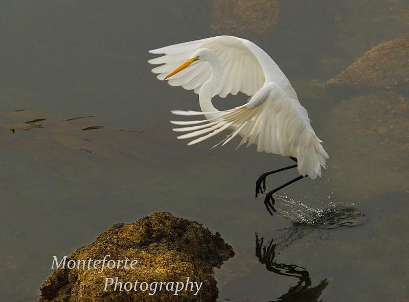 Great White Egret-Ardea alba-taking off, Montefey California