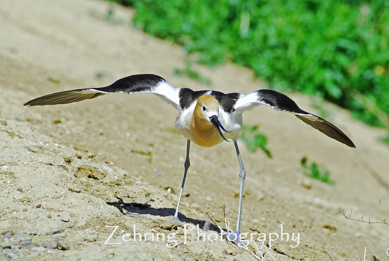 The fierce display of an avocet parent trying to ward off any intruder from it's nearby nest.