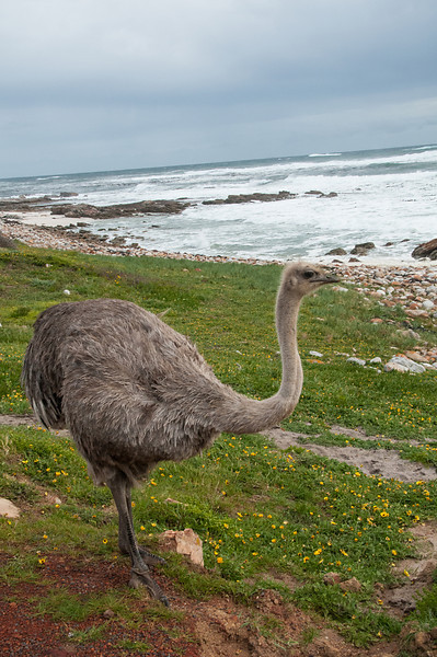 Ostrich on Cape of Good Hope Shore