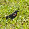 Redwing blackbird, Florida