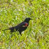 Redwing blackbird, Florida