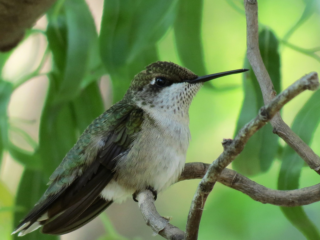 The female Ruby-Throated Hummingbird.