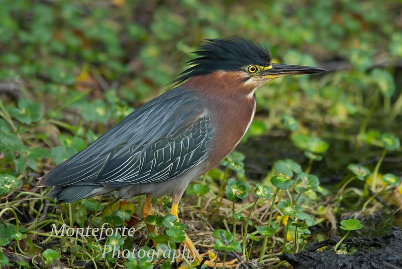 Green Heron - Butorides virescens stalking prey at a man made pond in Carmel Valley, California
