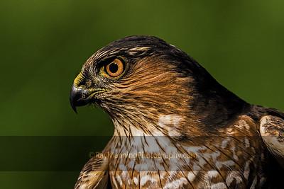Profile of a Sharp-shinned Hawk