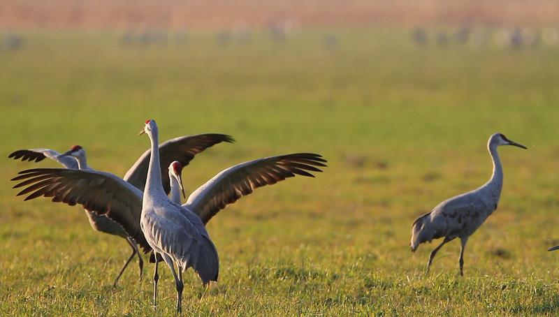 Sandhill Cranes - November 2010