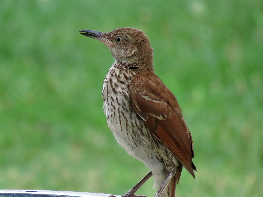 Brown Thrasher showing its yellow eye color.